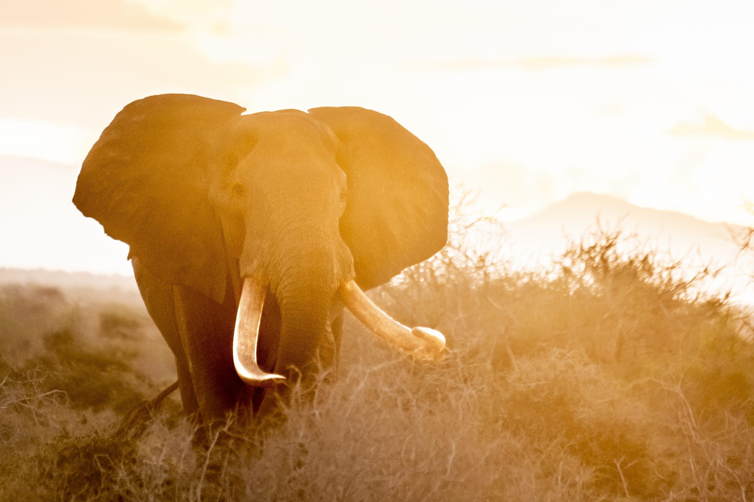 White Satao, Bull Tusker In East Tsavo National Park At Sunset