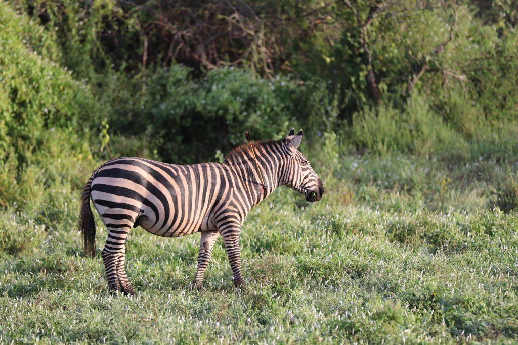 Zebra Conservation