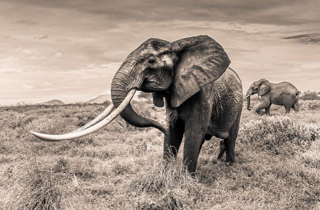Super Tusker Elephant Conservation