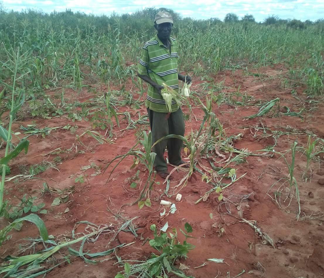 Elephant Crop Raided Maize