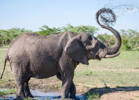 Female Elephant Posture