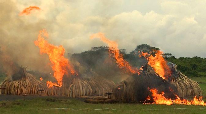 Ivory Burn Poaching Cover