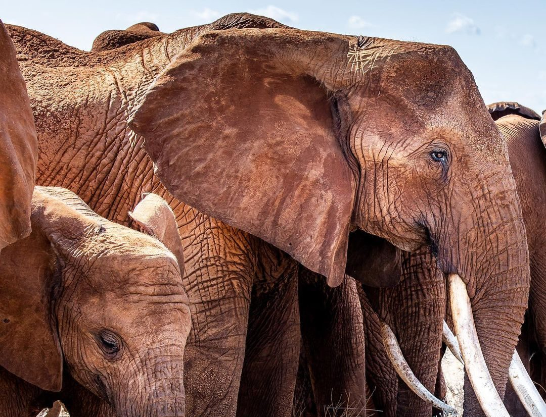 Elephant Conservation Facts